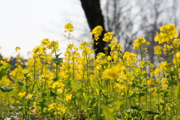 神代植物公園【菜の花】2