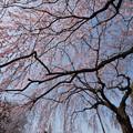 新宿御苑【桜:枝垂れ桜】4