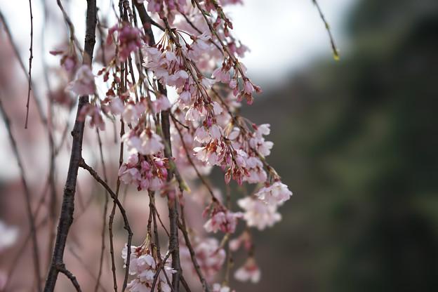 新宿御苑【桜:枝垂れ桜】7