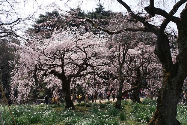 新宿御苑【桜:枝垂れ桜】9