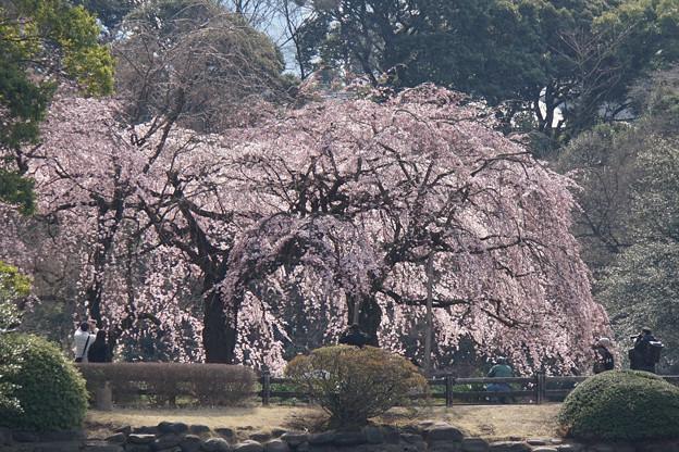 新宿御苑【桜:枝垂れ桜】10