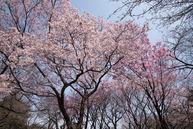 新宿御苑【桜林】2