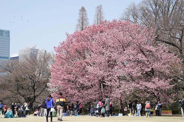 新宿御苑【桜:陽光】1
