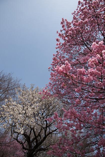 新宿御苑【桜:陽光】3