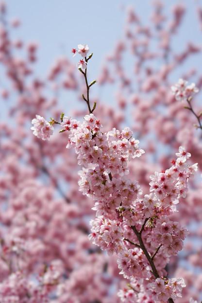 新宿御苑【桜:陽光】5