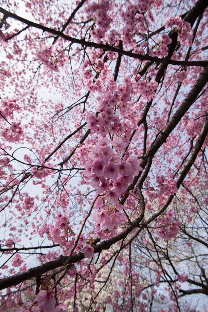新宿御苑【桜:陽光】6