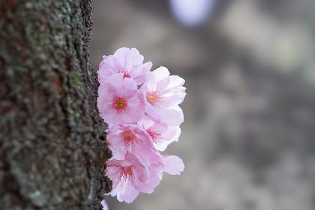 新宿御苑【桜:陽光】7
