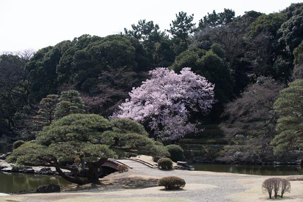 新宿御苑【桜:高遠小彼岸】2