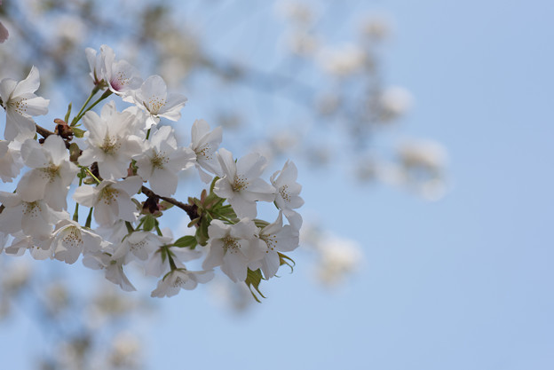 新宿御苑【桜:大島桜】1