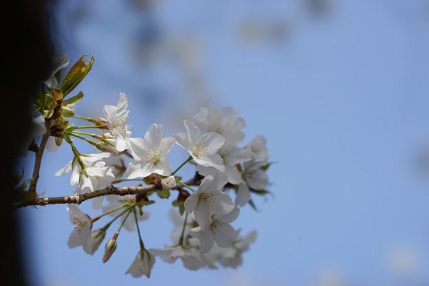 新宿御苑【桜:大島桜】4