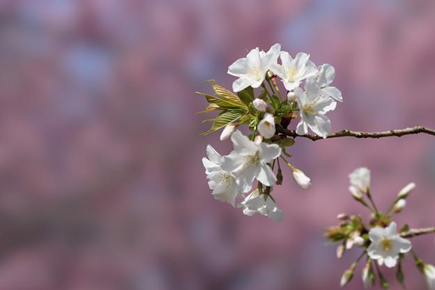 新宿御苑【桜:大島桜】5