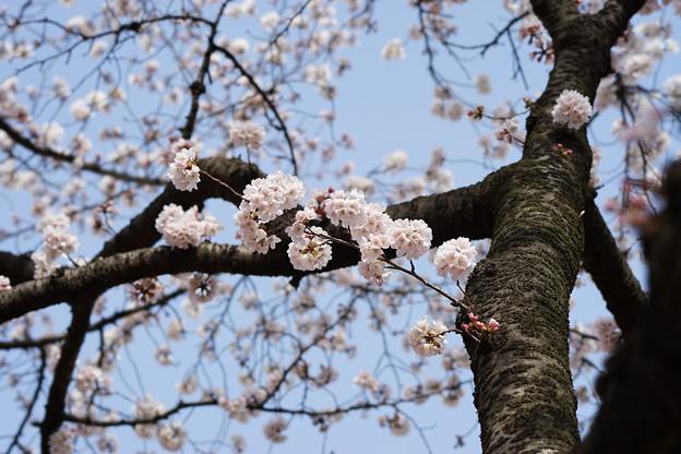 新宿御苑【桜:染井吉野】2