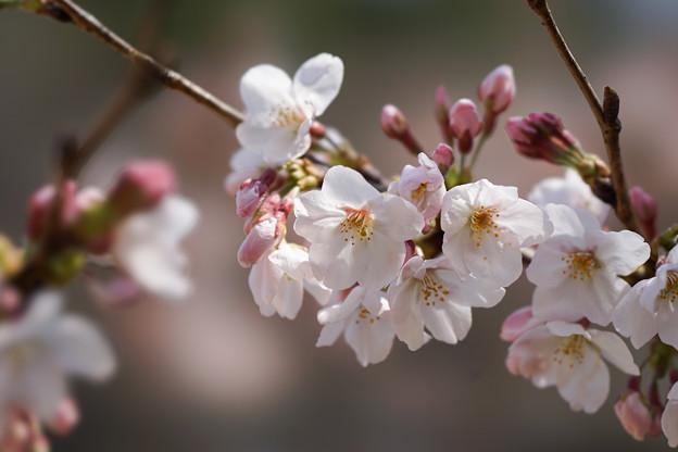 新宿御苑【桜:染井吉野】4