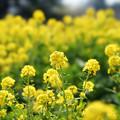 昭和記念公園【菜の花】4