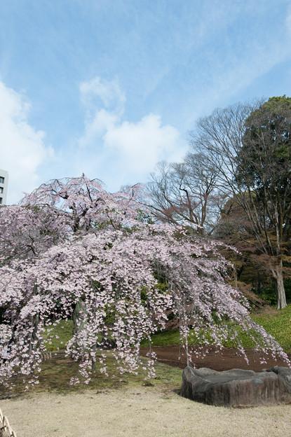 小石川後楽園【桜:枝垂れ桜】1