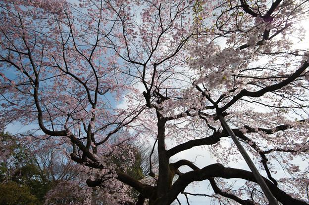 小石川後楽園【桜:枝垂れ桜】3