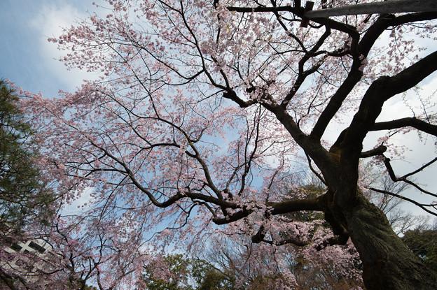 小石川後楽園【桜:枝垂れ桜(大堰川沿い)】4