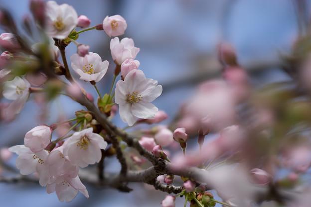 小石川後楽園【桜:染井吉野】1