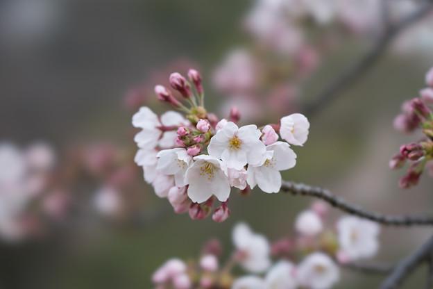 小石川後楽園【桜:染井吉野】3