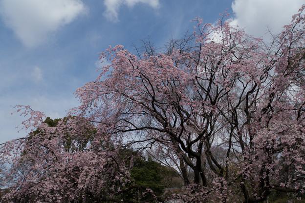 六義園【桜:枝垂れ桜】1