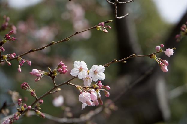 六義園【桜:染井吉野】3
