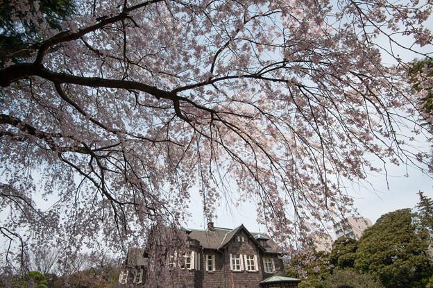 旧古河庭園【洋館と桜】3