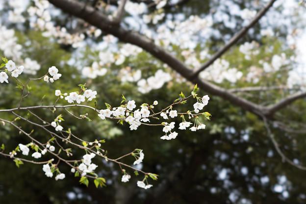 旧古河庭園【桜:大島桜】1