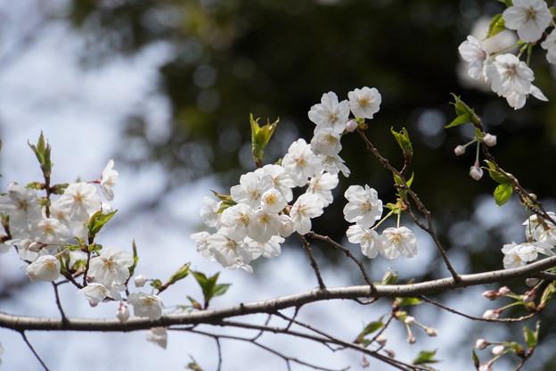 旧古河庭園【桜:大島桜】4