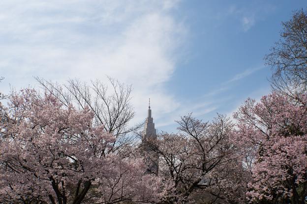 新宿御苑【桜とタワー】2