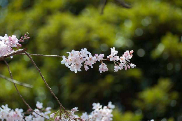 新宿御苑【江戸彼岸:タム9】5
