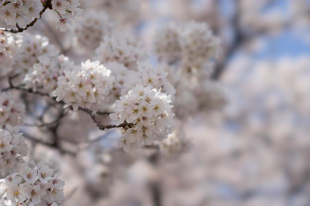 新宿御苑【桜:高遠小彼岸】3
