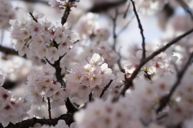 新宿御苑【桜:高遠小彼岸】4