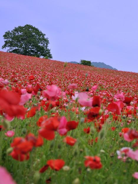 天空を飾るポピー畑