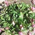 鉢植えのクリスマスローズ1