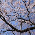 写真: IMG_8158有栖館(有栖川宮旧邸)・枝垂桜