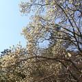 写真: IMG_8174京都御苑・白木蓮