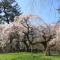 Photos: IMG_8181京都御苑・近衞邸跡の糸桜