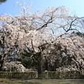 Photos: IMG_8192京都御苑・近衞の糸桜