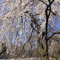 写真: IMG_8234京都御苑・糸桜