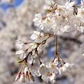 写真: IMG_8240京都御苑・糸桜