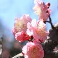 写真: IMG_8268隨心院門跡・小野梅園・紅梅