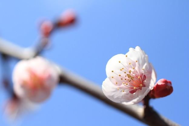 写真: IMG_8323隨心院門跡・小野梅園・梅