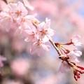写真: IMG_8531清水寺・紅枝垂桜