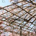 写真: IMG_8536清水寺・紅枝垂桜