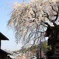 写真: IMG_8549産寧坂・明保野亭前の枝垂桜