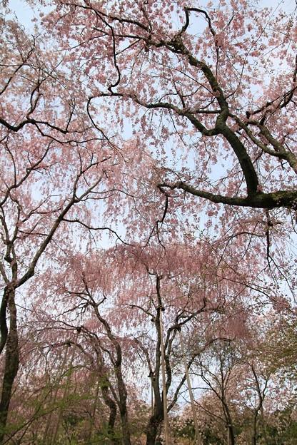 IMG_8753龍安寺・紅枝垂桜