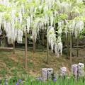 Photos: IMG_0098春日大社神苑萬葉植物園・白野田と杜若