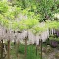 Photos: IMG_0212春日大社神苑萬葉植物園・藤
