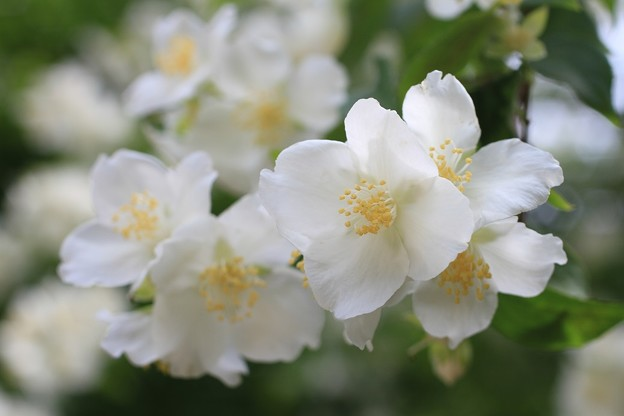 IMG_0306卯の花