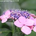 IMG_7961第二紫陽花苑・紫陽花